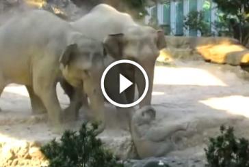 Elefánt bébi megcsúszik és a hátára esik, figyeld mit tesznek a szülei ekkor