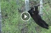 Fekete medve a kötélen mászik, hogy megszerezze az eledelt – Ha nem látom, nem hiszem el