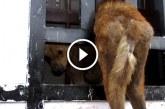 Kóbor kutya több órája beragadt a kapuban még meghalottak a sírásást