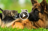 Német juhászkutya cicák társaságában – Nézd milyen jól kijönnek egymással