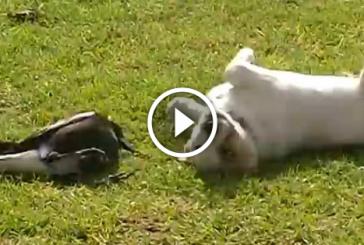 Ausztráliai szarka legjobb barátja egy kutyus – Ilyet se láttál még, az biztos!