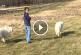 A tanyán sétáltatja kutyáit, de figyeld mi történik a következő pillanatban!