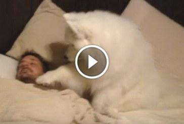 Hófehér szamojéd kutyus felébreszti gazdáját a reggeli sétához, ezt látnod kell!