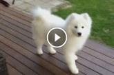 Megtaláltuk a világ legszebb kutyáját. Nézd a kis hófehér szőrmókot!