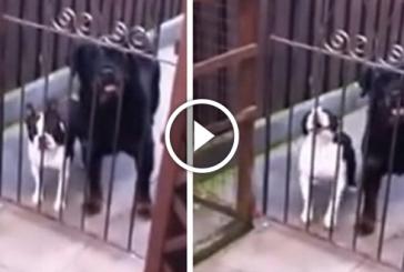 Gazdi elköszön a kutyáitól, a boston terrier reakciója hatalmas. Szakadunk a nevetéstől
