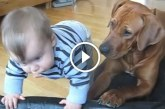 A kisbaba a kutya ágyába szeretne mászni, a kutya reakciója hatalmas