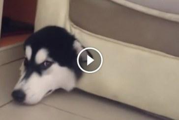 Gazdi keresi a kutyáját, majd mikor meglátja nem bírja ki nevetés nélkül